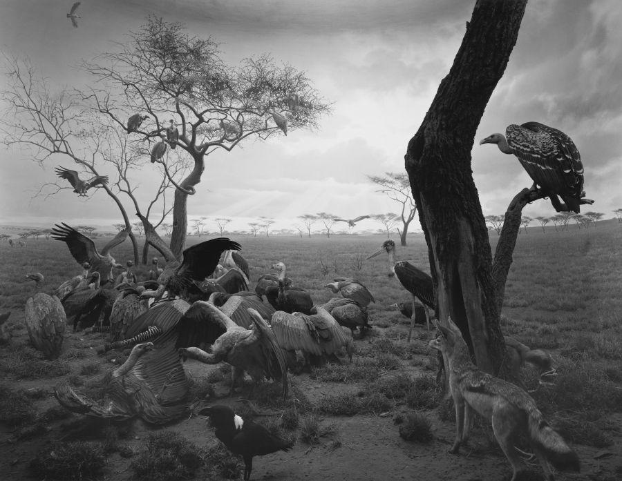Hiroshi Sugimoto: Hyena-Jackal Vulture, 1976. Gelatin silver print. Courtesy of Gallery Koyanagi. © Hiroshi Sugimoto