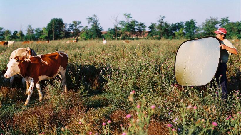 Aleksandrija Ajduković: Glossy Cows, 2002–2004. Courtesy of the author.